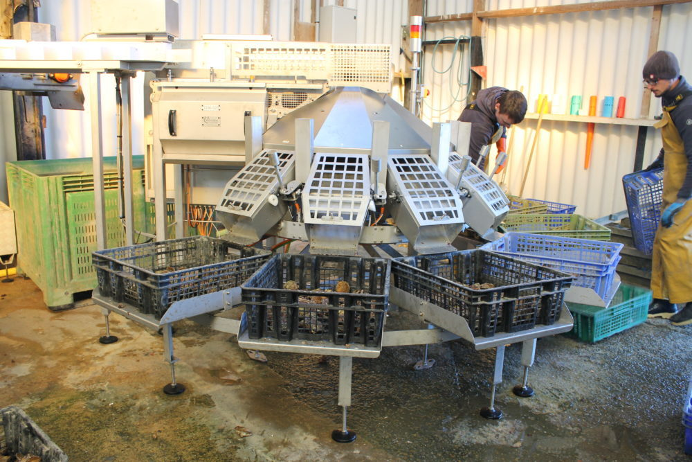 Compact oyster grader